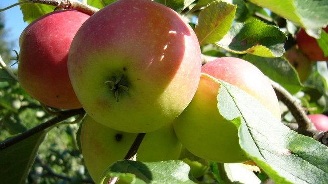 Jablka, ilustrační foto.