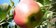 Ceny jablek míří k novému maximu: Kilo stojí už přes 40 korun - anotační obrázek