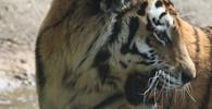První tygr na světě se nakazil novým koronavirem, trápí ho suchý kašel - anotační foto