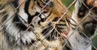 Aktivisté v Berlíně chtěli předhodit uprchlíky tygrům - anotační obrázek