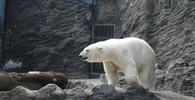 V brněnské zoo zahynul lední medvěd Umca - anotační obrázek