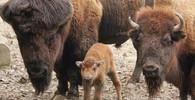V brněnské zoo se narodila bizoní holčička Mája