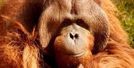 V rakouské zoo uhynul slavný orangutan Nonja, měl i profil na facebooku - anotační obrázek