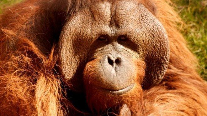 Orangutan bornejský, ilustrační fotografie
