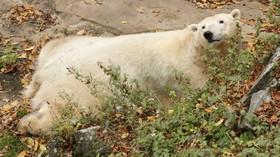 Lední medvědice Cora z brněnské zoo