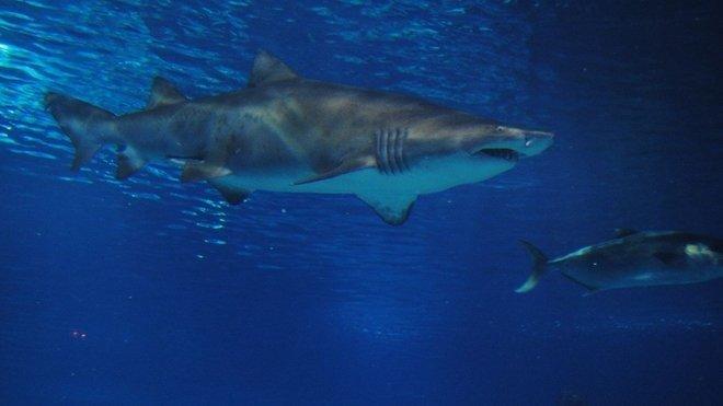 Žraloci, ilustrační fotografie