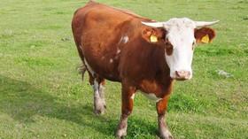 Pozdvižení v Rakousku. Protiteroristická jednotka zlikvidovala krávu - anotační foto