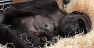 Gorila Kijivu porodila!