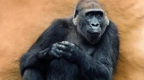 Gorilí samec zaútočil na ošetřovatelku, dostal se přes troje bezpečnostní dveře - anotační foto