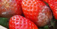 Shnilé jahody, ilustrační fotografie