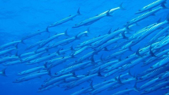 Mořské ryby, ilustrační fotografie