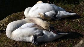 Odpočívající pár labutí