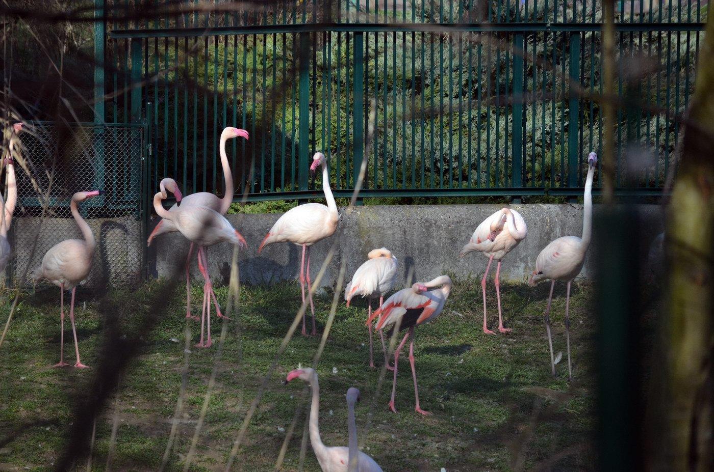 Zoo Bratislava, Plameňák růžový