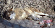 Čínská zoo vzbudila pozornost, místo vlka vystavovala psa - anotační obrázek