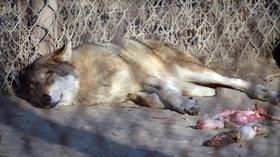 Vlk v zoologické zahradě, ilustrační foto