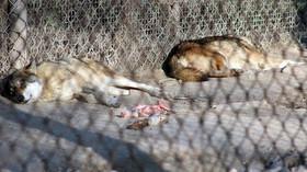 Zoo Bratislava, Vlk evropský