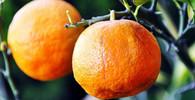 Pomeranče, ilustrační fotografie