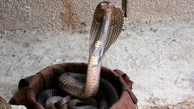 Kobra indická, ilustrační fotografie