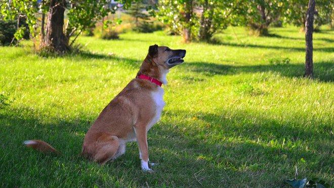 Pes okusuje travu