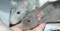 Krysy, ilustrační fotografie