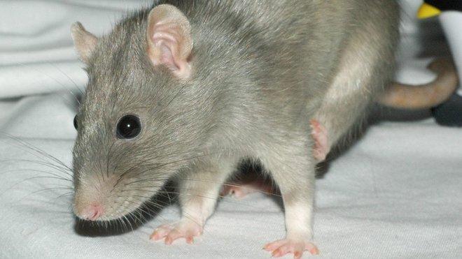 Krysa, ilustrační fotografie