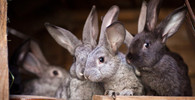 V Anglii někdo ukradl údajně největšího králíka na světě - anotační foto