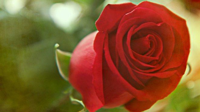 Růže, ilustrační fotografie