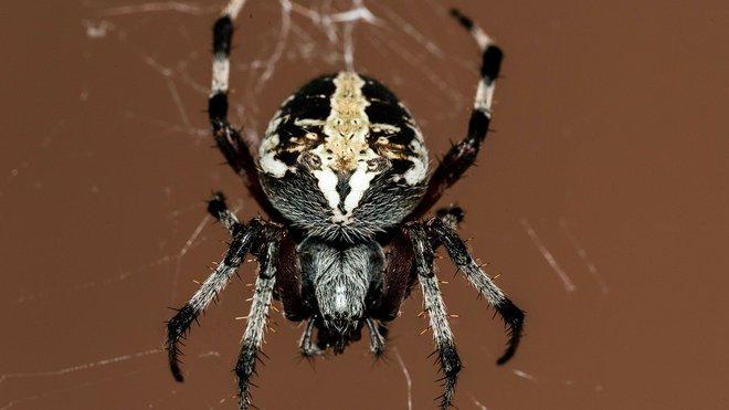 Pavouk, ilustrační foto