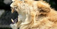 Na Hradecku utekli z klecí dva tygři a lev.  Lidé z okolí by neměli opouštět své domy - anotační obrázek