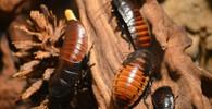Vědci hledají alternativy na přežití: Místo jídla budeme v budoucnu dojit šváby - anotační obrázek