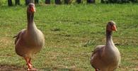 V Česku se objevila ptačí chřipka - anotační obrázek