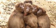 Nejnebezpečnější zvíře pro člověka? Překvapivě je to opice - anotační obrázek