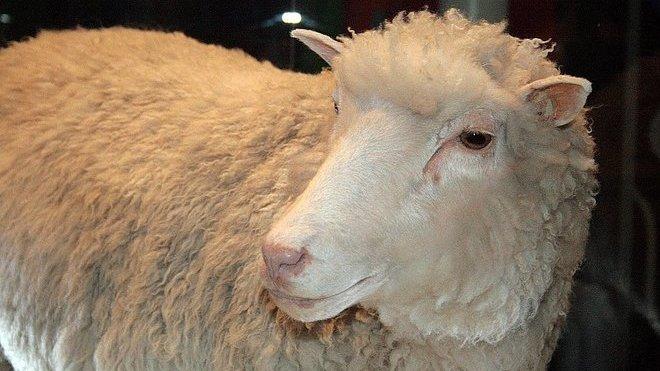 Ovce Dolly, první naklonované zvíře na světě