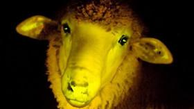 Fosforová ovce