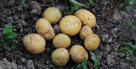 Máte rádi brambory? Dávejte pozor, jak je připravujete, mohou být nebezpečné - anotační obrázek