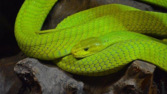 Mamba zelená