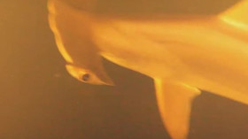 Experti natočili žraloka na místě, kde by podle nich nemělo vůbec nic přežít