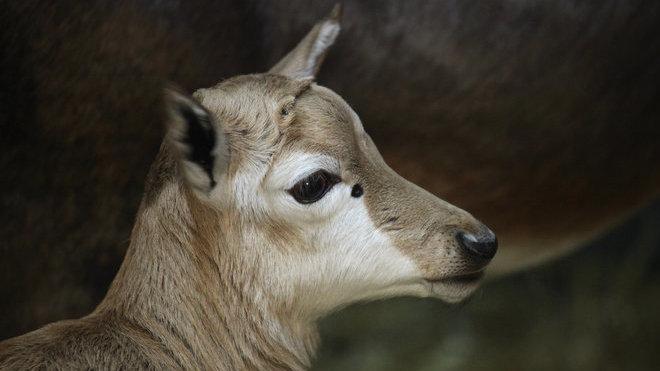 Prvním mládětem roku 2019 vbrněnské zoo je samička buvolce běločelého (Damaliscus pygargus phillipsi)