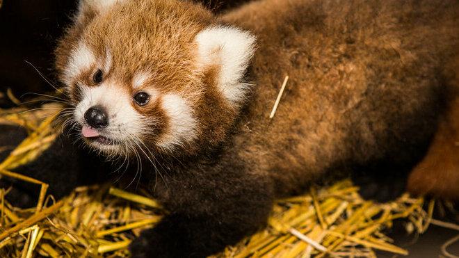 V pražské zoo se poprvé narodila dvojčata pandy červené
